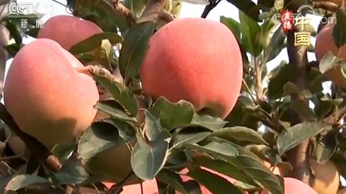 山东:苹果种植新技术 提升产量和