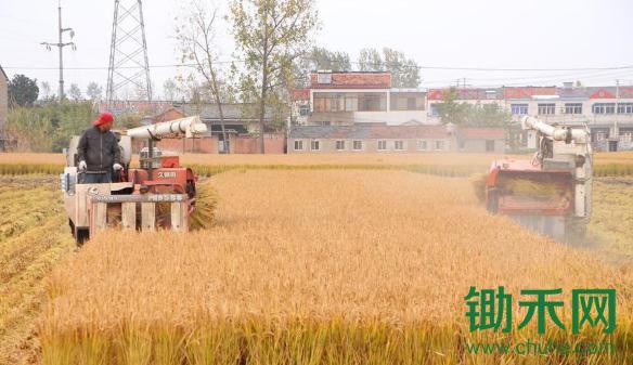 晚稻收割正当时