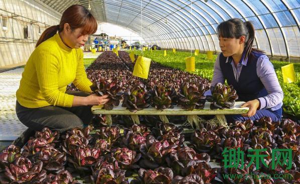 无土水培蔬菜助推产业升级