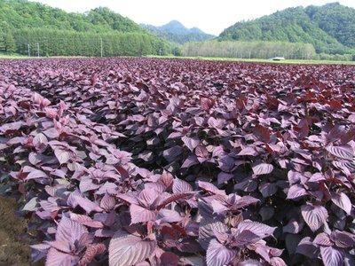 紫苏是我国唯一的药食同源植物