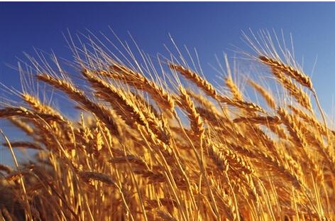 全国已收获小麦面积1.63亿亩 黄淮海主产区麦收进度过半